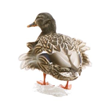 High-key duck