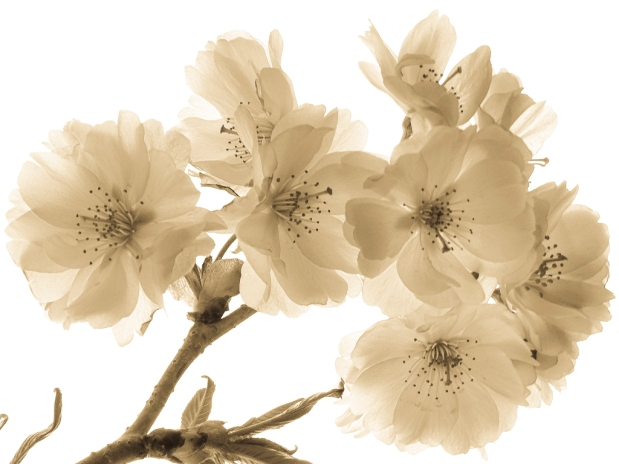 Split-toned Blossoms