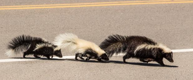 3 Skunks